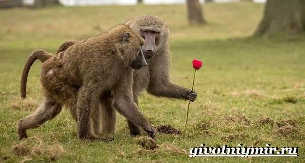 Бабуин-обезьяна-Образ-жизни-и-среда-обитания-бабуина-8