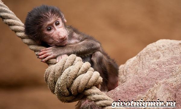 Бабуин-обезьяна-Образ-жизни-и-среда-обитания-бабуина-9