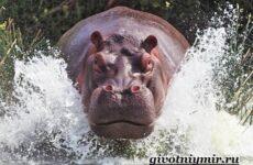 Бегемот животное. Образ жизни и среда обитания бегемота
