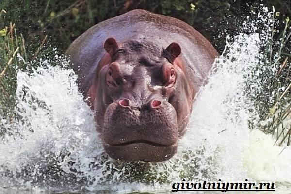 Бегемот-животное-Образ-жизни-и-среда-обитания-бегемота-1