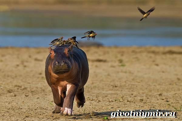 Бегемот-животное-Образ-жизни-и-среда-обитания-бегемота-2
