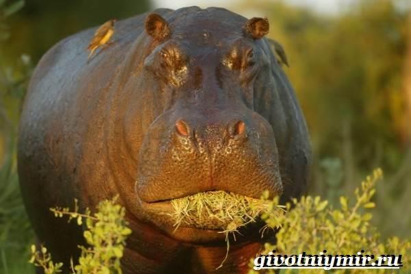 Бегемот-животное-Образ-жизни-и-среда-обитания-бегемота-7
