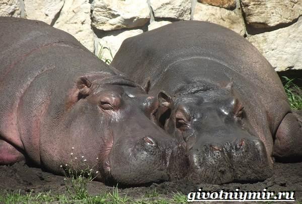 Бегемот-животное-Образ-жизни-и-среда-обитания-бегемота-9