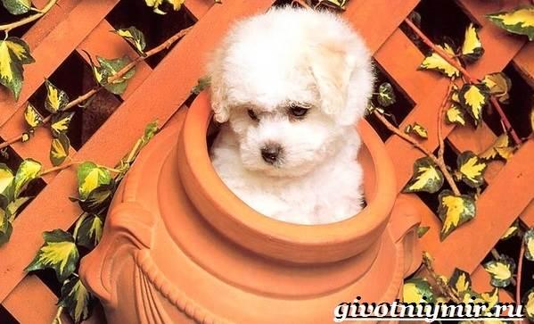 Бишон-собака-Описание-особенности-уход-и-цена-собаки-породы-бишон-1