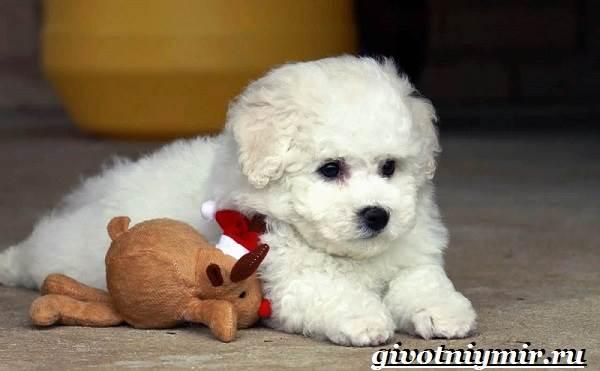 Бишон-собака-Описание-особенности-уход-и-цена-собаки-породы-бишон-13