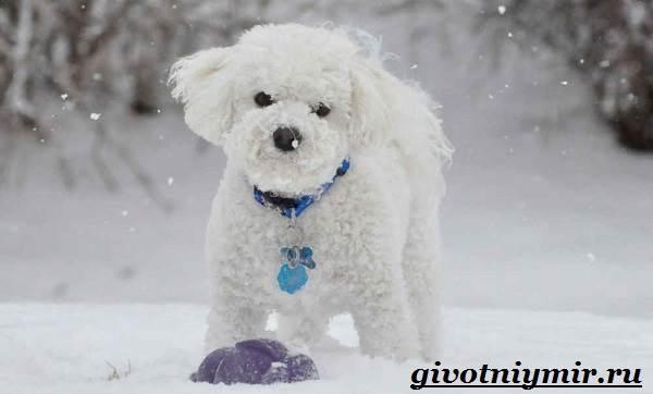 Бишон-собака-Описание-особенности-уход-и-цена-собаки-породы-бишон-14