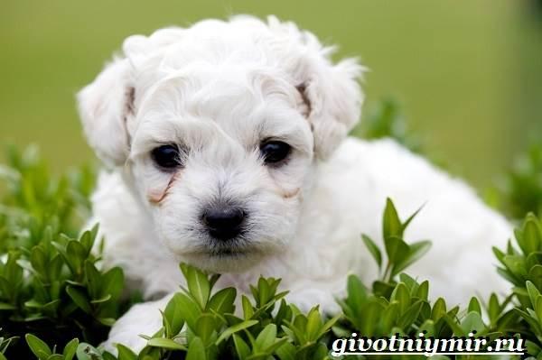 Бишон-собака-Описание-особенности-уход-и-цена-собаки-породы-бишон-15
