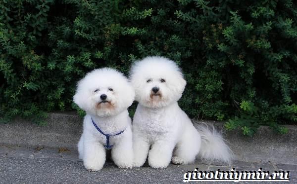 Бишон-собака-Описание-особенности-уход-и-цена-собаки-породы-бишон-2