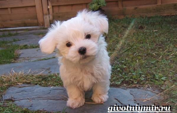 Бишон-собака-Описание-особенности-уход-и-цена-собаки-породы-бишон-3