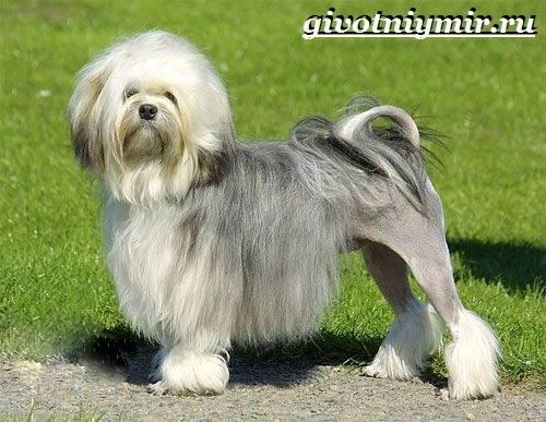 Бишон-собака-Описание-особенности-уход-и-цена-собаки-породы-бишон-4