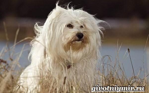 Бишон-собака-Описание-особенности-уход-и-цена-собаки-породы-бишон-5