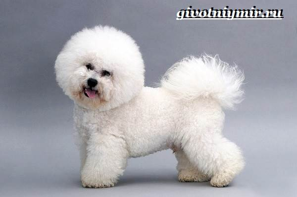 Бишон-собака-Описание-особенности-уход-и-цена-собаки-породы-бишон-6