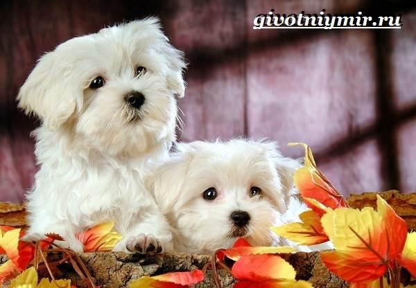 Бишон-собака-Описание-особенности-уход-и-цена-собаки-породы-бишон-7