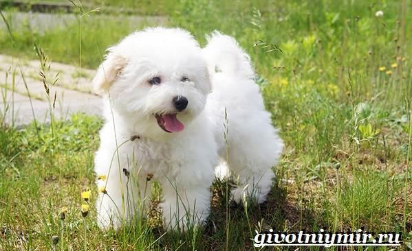 Бишон-собака-Описание-особенности-уход-и-цена-собаки-породы-бишон-8