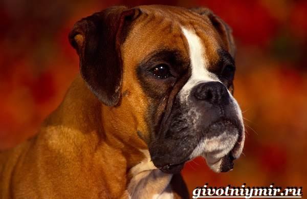 Боксер-собака-Описание-особенности-уход-и-цена-породы-боксёр-1