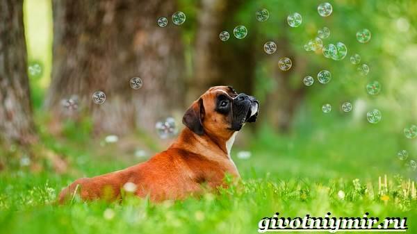Боксер-собака-Описание-особенности-уход-и-цена-породы-боксёр-3