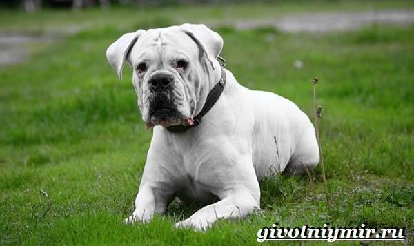 Боксер-собака-Описание-особенности-уход-и-цена-породы-боксёр-4