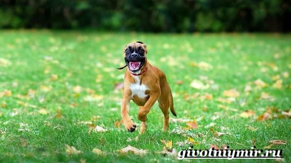 Боксер-собака-Описание-особенности-уход-и-цена-породы-боксёр-8