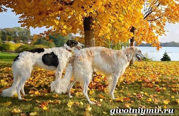 Борзая-русская-собака-Описание-особенности-уход-и-цена-русской-борзой-2