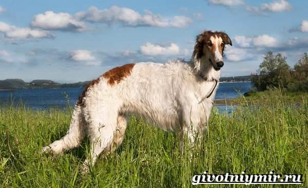 Борзая-русская-собака-Описание-особенности-уход-и-цена-русской-борзой-3