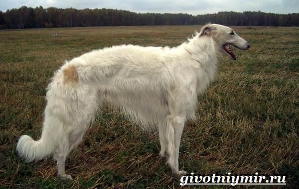 Борзая-русская-собака-Описание-особенности-уход-и-цена-русской-борзой-4
