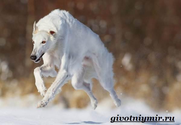 Борзая-русская-собака-Описание-особенности-уход-и-цена-русской-борзой-5