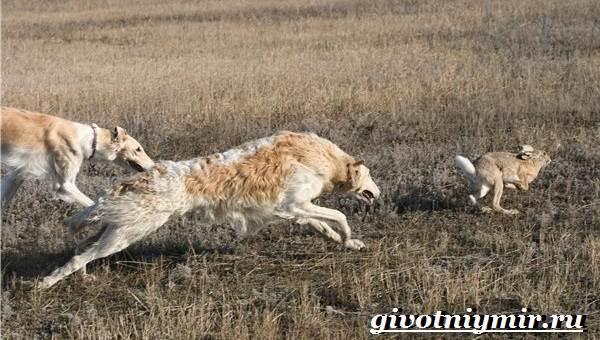 Борзая-русская-собака-Описание-особенности-уход-и-цена-русской-борзой-6