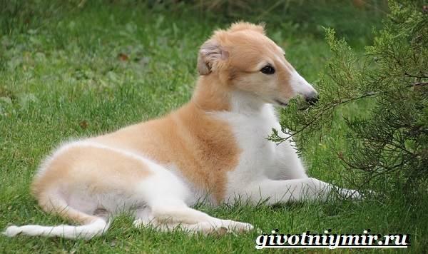 Борзая-русская-собака-Описание-особенности-уход-и-цена-русской-борзой-9