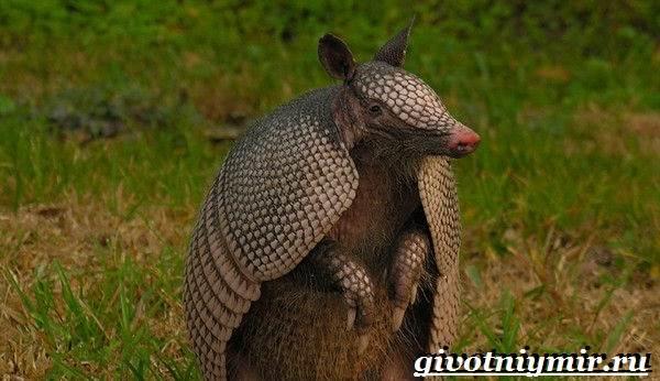 Броненосец-животное-Образ-жизни-и-среда-обитания-броненосца-2