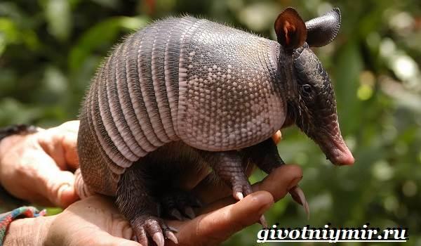 Броненосец-животное-Образ-жизни-и-среда-обитания-броненосца-5