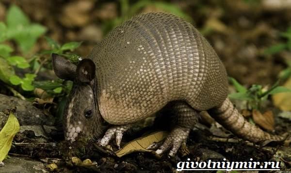 Броненосец-животное-Образ-жизни-и-среда-обитания-броненосца-6