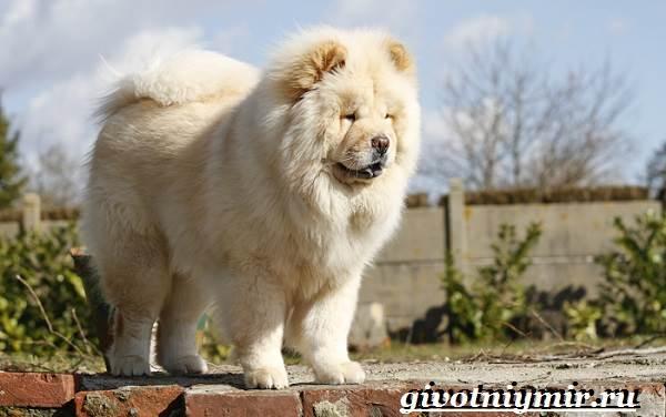 Чау-чау-порода-собак-Описание-особенности-уход-и-цена-собаки-чау-чау-3