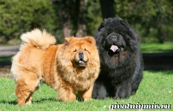 Чау-чау-порода-собак-Описание-особенности-уход-и-цена-собаки-чау-чау-4