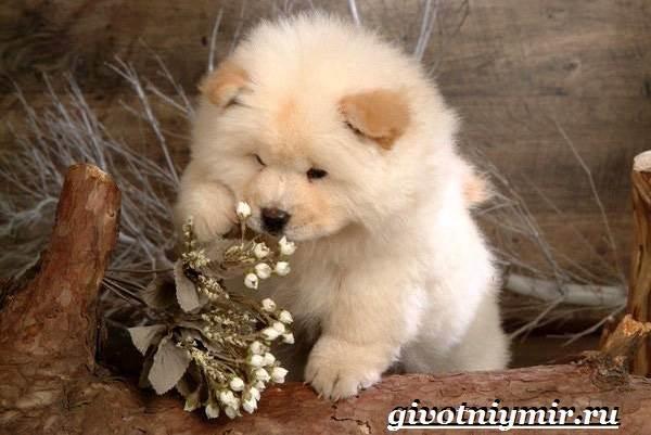 Чау-чау-порода-собак-Описание-особенности-уход-и-цена-собаки-чау-чау-6