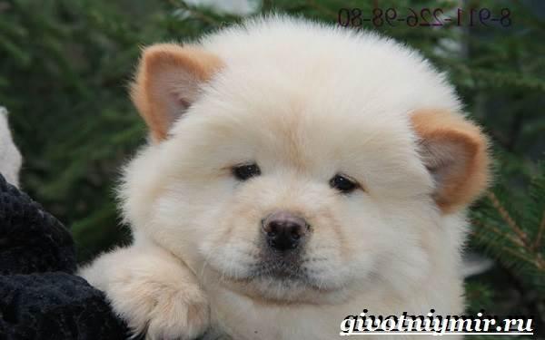Чау-чау-порода-собак-Описание-особенности-уход-и-цена-собаки-чау-чау-7