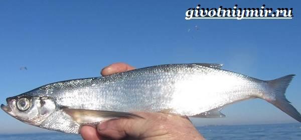 Чехонь-рыба-Образ-жизни-и-среда-обитания-рыбы-чехонь-2