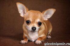Чихуахуа собака. Описание, особенности, отзывы и цена породы чихуахуа