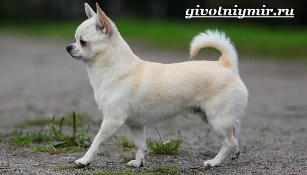 Чихуахуа-собака-Описание-особенности-отзывы-и-цена-породы-чихуахуа-2