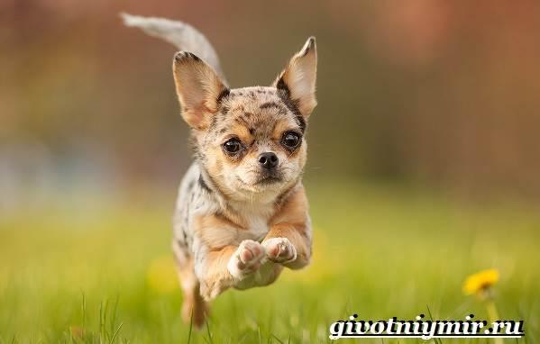 Чихуахуа-собака-Описание-особенности-отзывы-и-цена-породы-чихуахуа-3