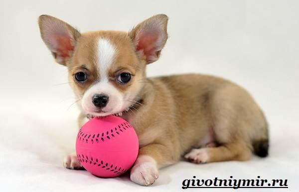 Чихуахуа-собака-Описание-особенности-отзывы-и-цена-породы-чихуахуа-4