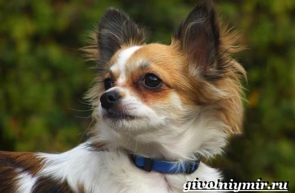 Чихуахуа-собака-Описание-особенности-отзывы-и-цена-породы-чихуахуа-5
