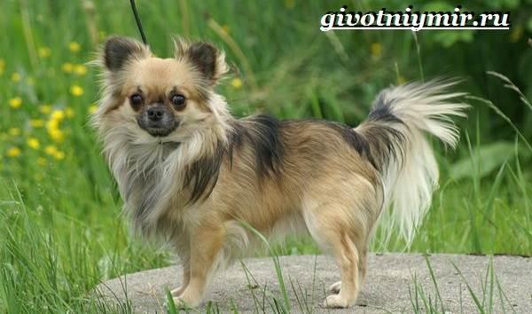 Чихуахуа-собака-Описание-особенности-отзывы-и-цена-породы-чихуахуа-6