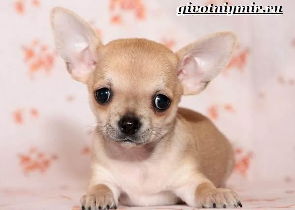 Чихуахуа-собака-Описание-особенности-отзывы-и-цена-породы-чихуахуа-7