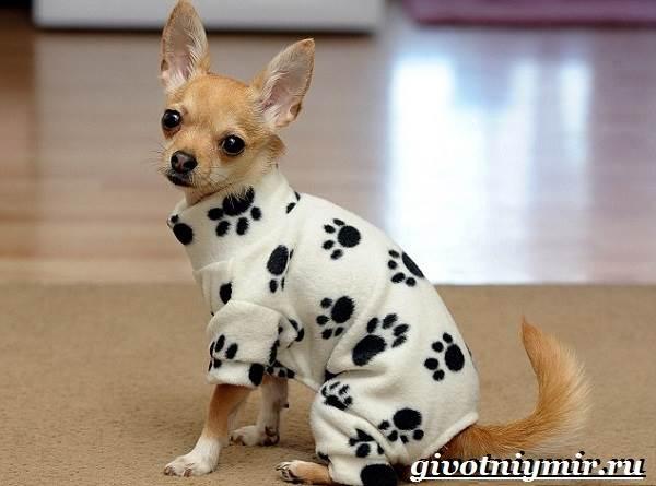 Чихуахуа-собака-Описание-особенности-отзывы-и-цена-породы-чихуахуа-8