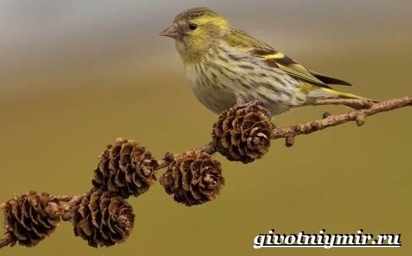 Чиж-птица-Образ-жизни-и-среда-обитания-птицы-чиж-1