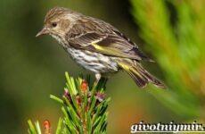 Чиж птица. Образ жизни и среда обитания птицы чиж