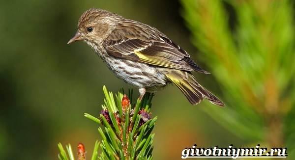 Чиж-птица-Образ-жизни-и-среда-обитания-птицы-чиж-2
