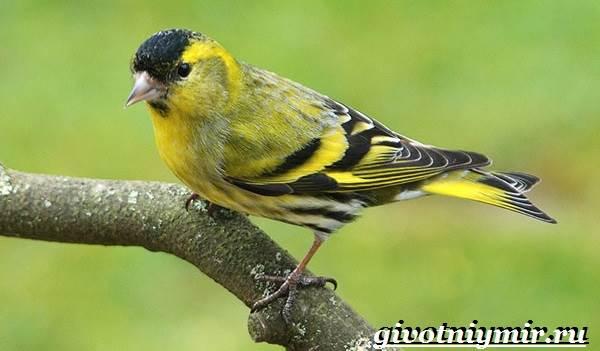 Чиж-птица-Образ-жизни-и-среда-обитания-птицы-чиж-3