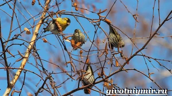 Чиж-птица-Образ-жизни-и-среда-обитания-птицы-чиж-4