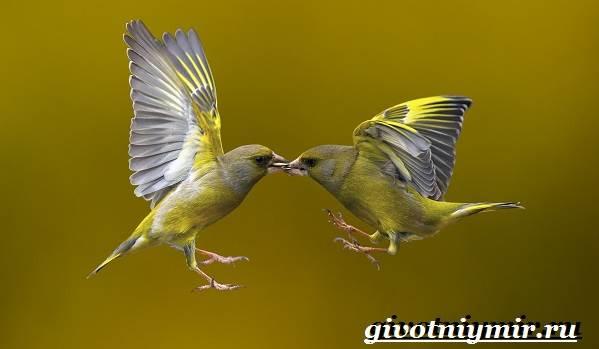 Чиж-птица-Образ-жизни-и-среда-обитания-птицы-чиж-5